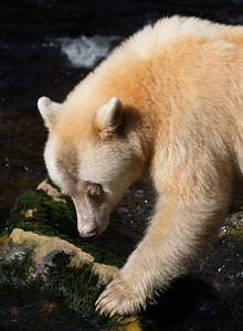 Spirit Bear portrait - what eyelashes!