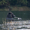Grizzly bear feeding in Poison Bay in pouring rain