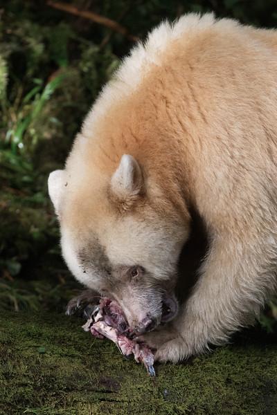 Spirit Bear feeding on salmon