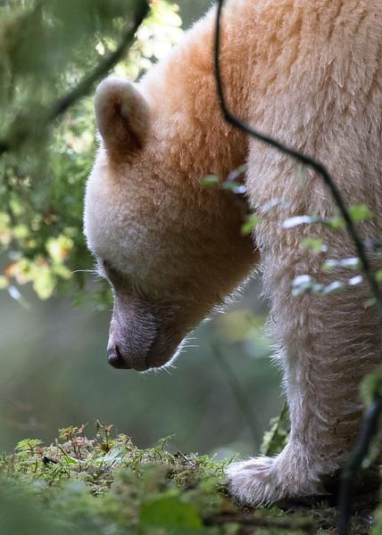Spirit Bear almost asleep