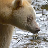 Spirit Bear looking for salmon