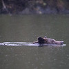 Grizzly bear swimming in Poison Bay in pouring rain