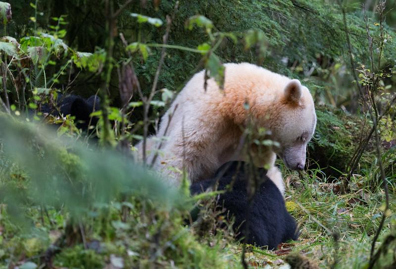 Spirit Bear nursing one of her cubs