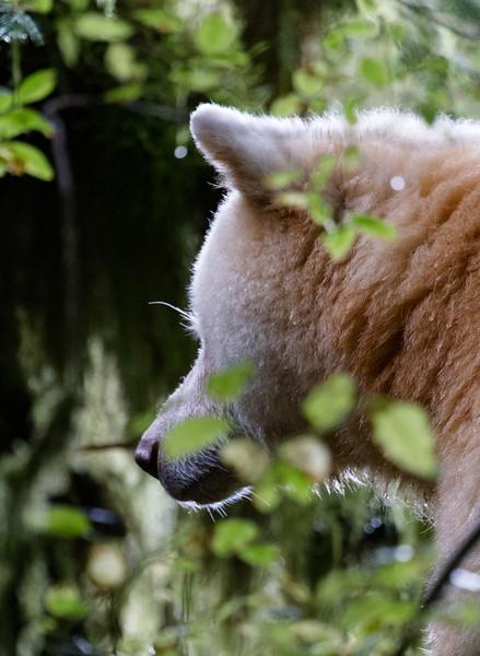 Watchful Spirit Bear