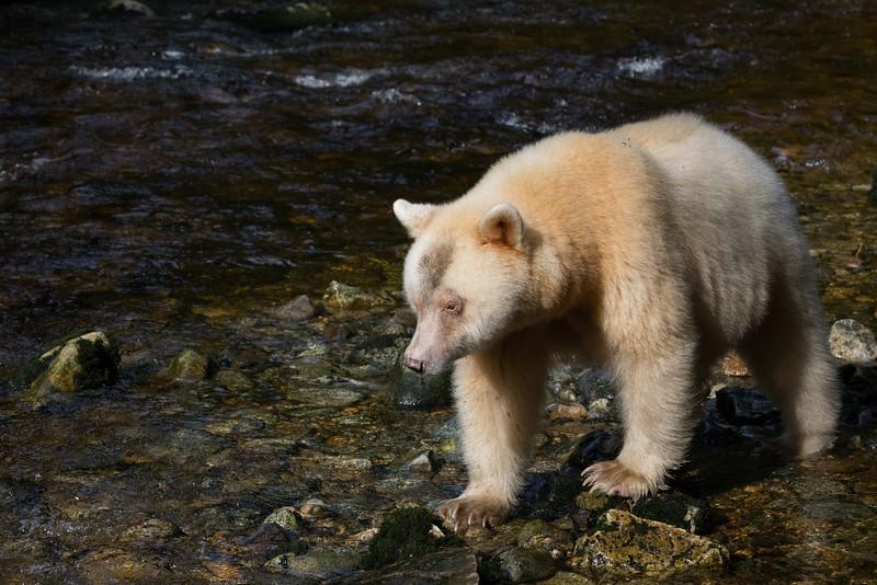 Spirit Bear watching for salmon