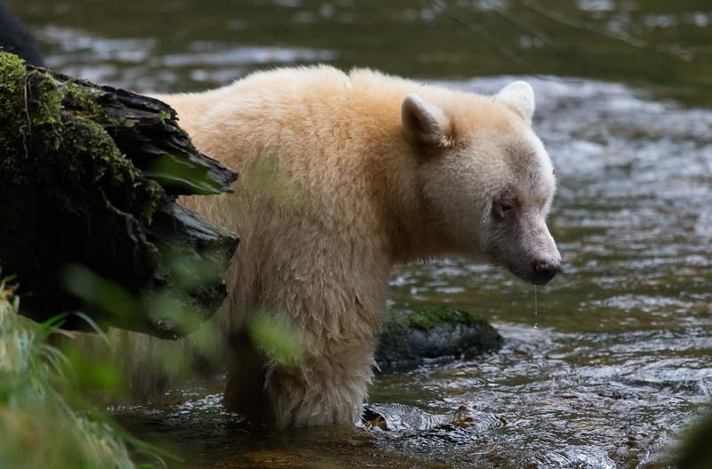 Spirit Bear watching for fish