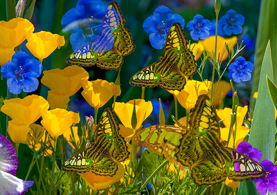 "Here's a fun one for Spring, #8 in my butterfly series, inspired by the blue and yellow 'Champagne Bubbles' flowers - 'Spirit of the Butterfly - Flying Through Champagne Bubbles,' Tucson 2018. Have printed this in 20""x28""!#butterflies #spiritofthebutterfly #flowers #macrophotography #springtime #flowerphotography #naturephotography #upclose #feelthemagic #steinfeldartists #tucsonbotanicalgardens #tucsonscene"