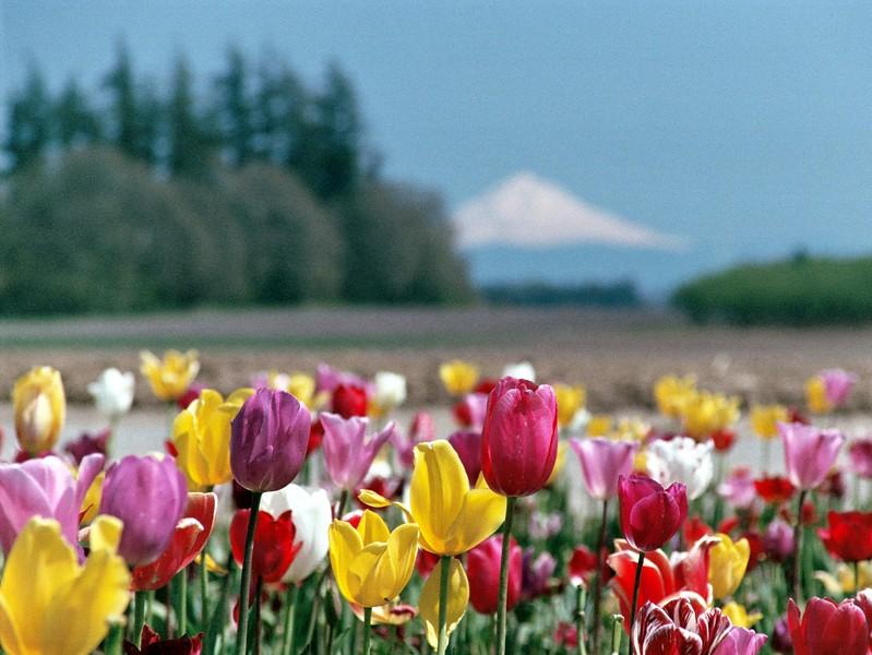 Mt. Hood and Tulips.