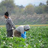 Mixtec farmworkers from Oaxaca, Mexico harvest broccoli in Chular, California.