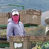 A  Mixtec farmworker harvests broccoli in Chular, California.