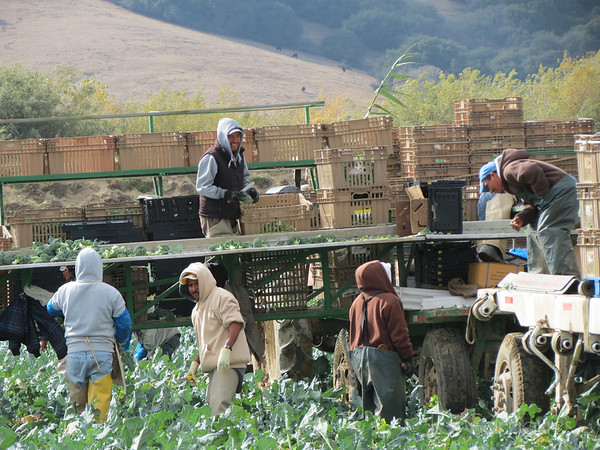 Indigenous farmworkers from Oaxaca, Mexico, harvest broccolli  in Chular, California.