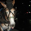 Working Horse, New Orleans