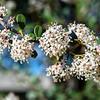 Big-pod Ceanothus ( Ceanothus metacarpus ) -