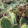 Prickly Pear Cactus and California Buckwheat