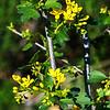 Golden Currant (Ribes aureum)