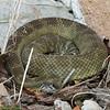 2017 rattlesnake