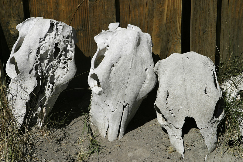 Three cow skulls lying next to an old shed on an Oregon ranch. These old bones have been bleached white by the sun.