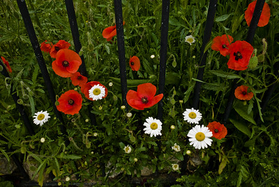 Spitalfields Poppies #1