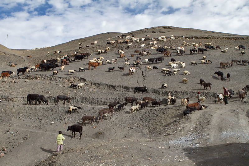 Letting the animals out in the morning. Langza village (Spiti).