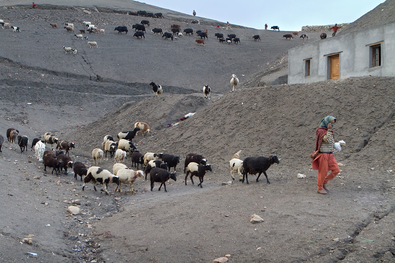 Getting the animals back in the evening. Langza village (Spiti).