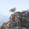 Grote Burgemeester broedpaar / Glaucous Gull breeding pair