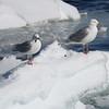 Grote Burgemeesters / Glaucous Gulls