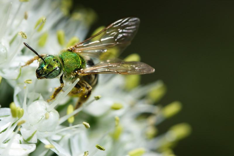 A green metallic sweat bee (Agapostemon virescens) gathers pollen.
