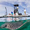 Spotted Eagle Ray in Net