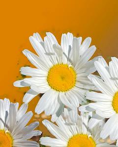 daisies-v2 1