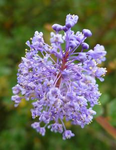 Blue flower Sycamore Cyn 110515 P2050465