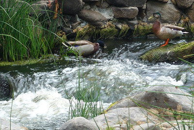 Ducks near dam Mission Trails 110508 P2050442