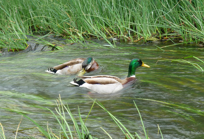 Ducks in SD River Mission Trails 110508 P2050447