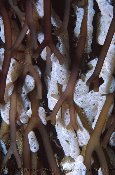 white sponge in Macrocystis holdfast Log 1030 1984-03 Sta Cruz Island