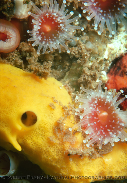 yellow sponge & Corynactis 1976-09