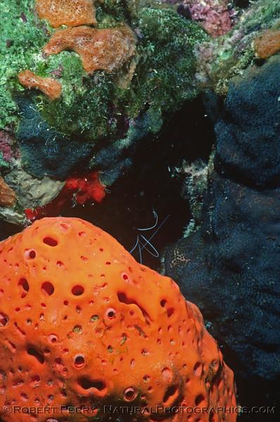 Orange sponge Log 1154 1985-08 Bonaire