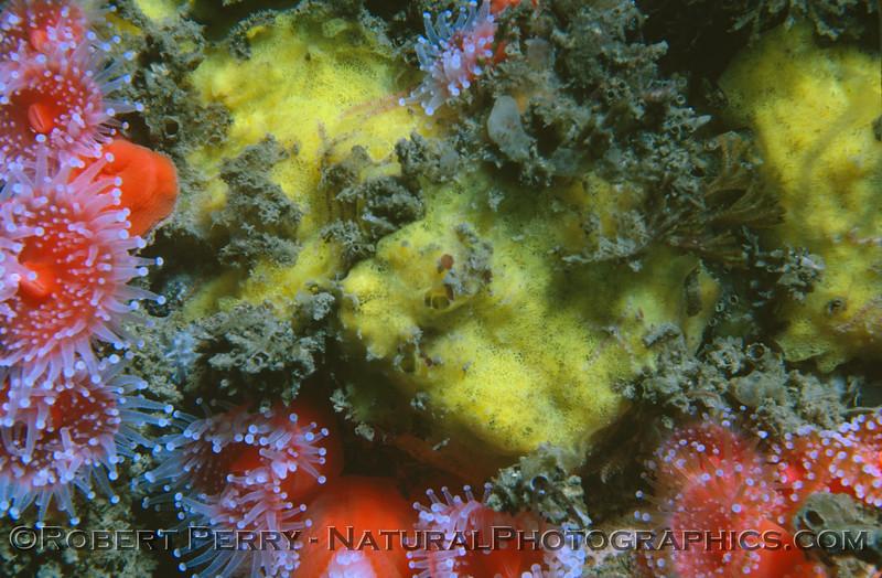 Yellow sponge & Corynactis 1983-09 Malibu
