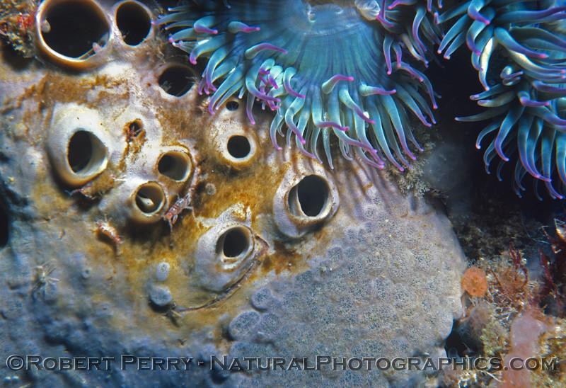 sponge CLOSE amphipod symbionts Log 867 1982-06 Wilsons Rock San Miguel Island