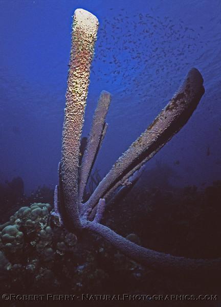 organ pipe sponge & fish Log 1149 1985-08 Bonaire