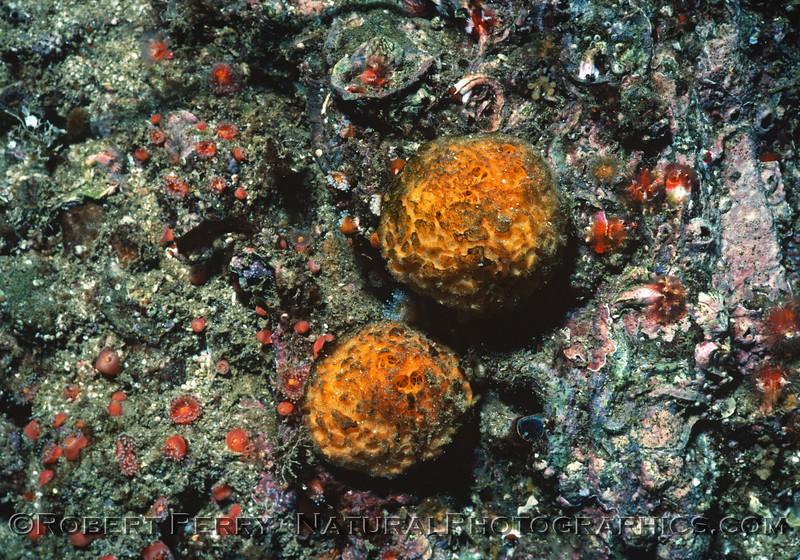 Tethia californiana old Tethia aurantia TWO 1985-10