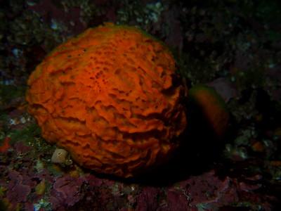 Tethya aurantia (orange puffball)