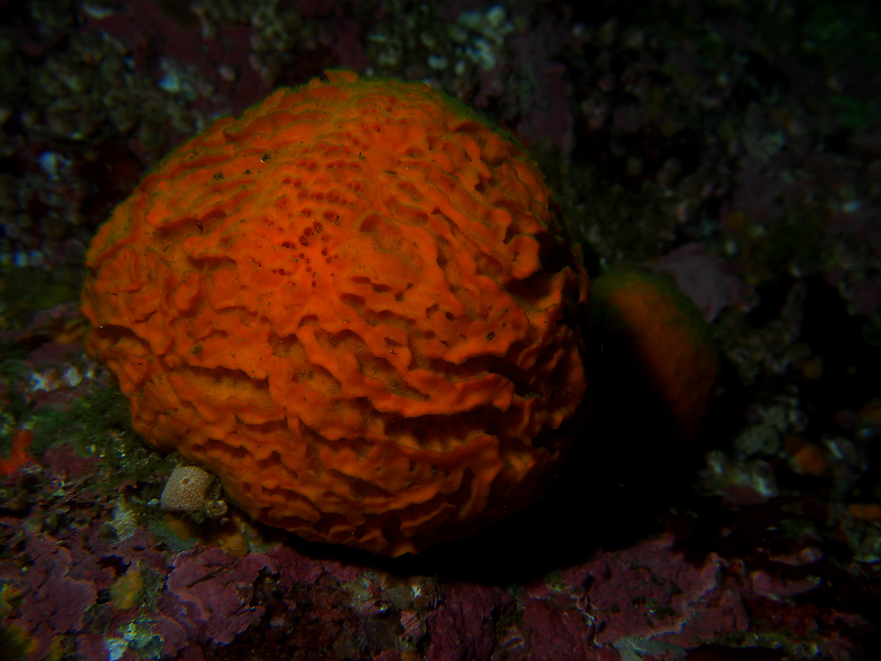 Orange Puffball Sponge