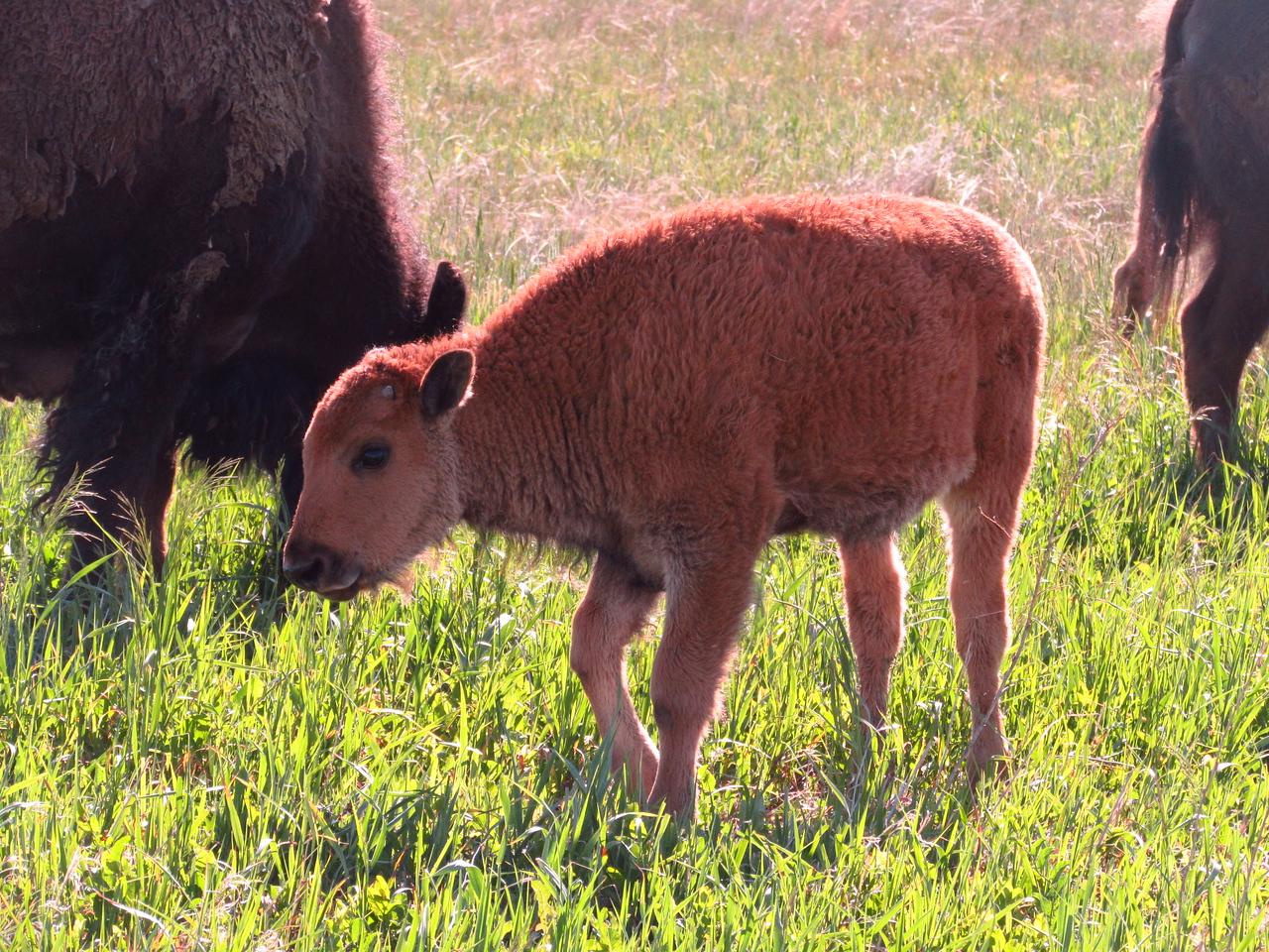 Bison calf, spring 2014. PHOTO BY RACHEL HERRING