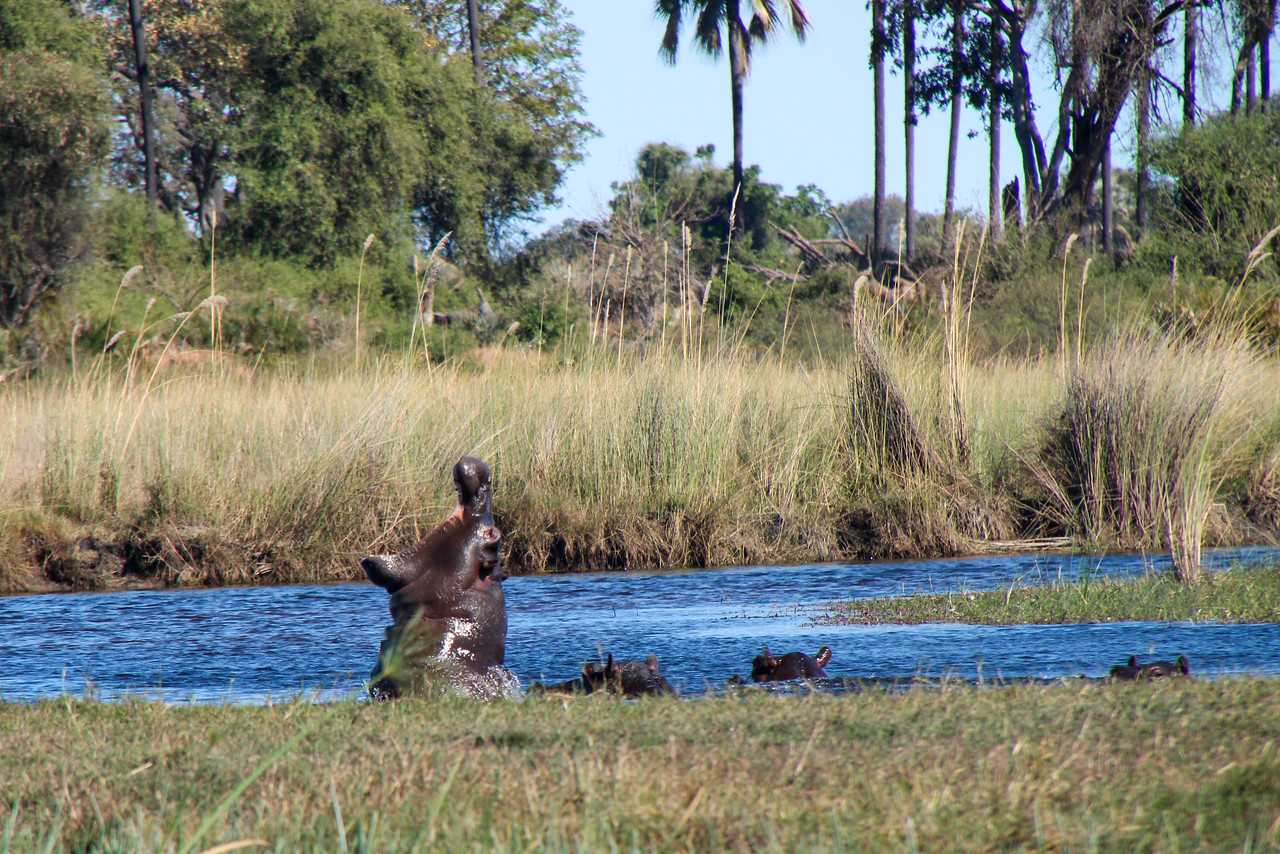 """Roar! During a traverse of the Okavango Delta, Botswana, Adventurers and Scientists for Conservation founder Gregg Treinish had hippos scream at him from 30 feet away. Learn more about ASC's work to protect the delta:  <a href=""""http://www.adventurescience.org/okavango"""">http://www.adventurescience.org/okavango</a>"""