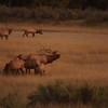 Elk bugling on CMR. By Peter Detwiler.