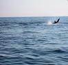 IMG_6223-1Sailfish Jumping Guatemala 021608