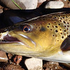 Brown Trout - River Philip, Nova Scotia