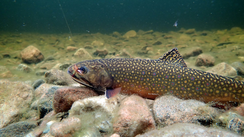Underwater photo of a Brrook Trout caught on a fly - North Aspy River, Cape Breton