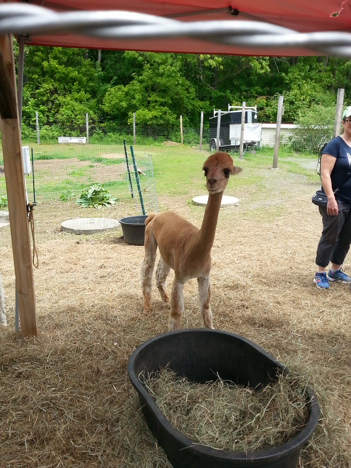 adorable alpacas in the shopping center by the parking area ... they look so happy