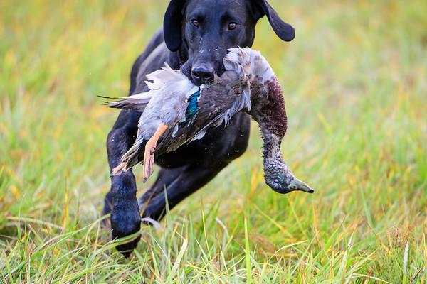 Northwest Pointing Labrador Club APLA Fall Hunt Test
