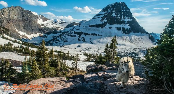 SFE-AO_7191_ATO.WestUSACanada2014-USA.MT.GlacierNP.LoganPassArea.HiddenLakeNatureTrail.HikerEncountersKingMountainGoat-B (DSC_7191.NEF)